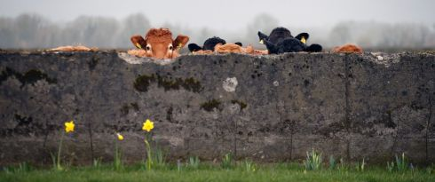 Cattle on the outskirts of Kilkenny look on as mist swirls and daffodils bloom. Photograph Nick Bradshaw/The Irish Times