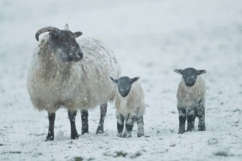 A sheep and lambs in the snow at Kilteel, Dublin. Photograph: Niall Carson/PA Wire