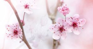 Close-up of the delicate spring flowering, black cherry plum blossom also known as Prunus cerasifera 'Nigra',
