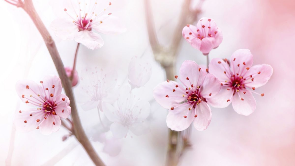 Live The Best Places To See Cherry Blossoms In Australia Blossom Spring Flowers Blossom Trees