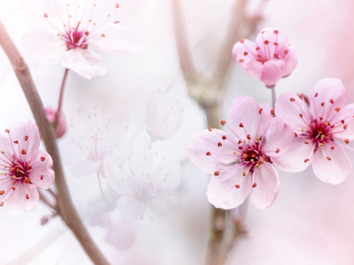 Dream About Cherry Blossom Tree 31 Interpretations And Meanings