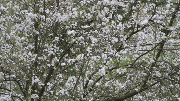 A cherry plum tree in full spring blossom Photo Credit Richard Johnston