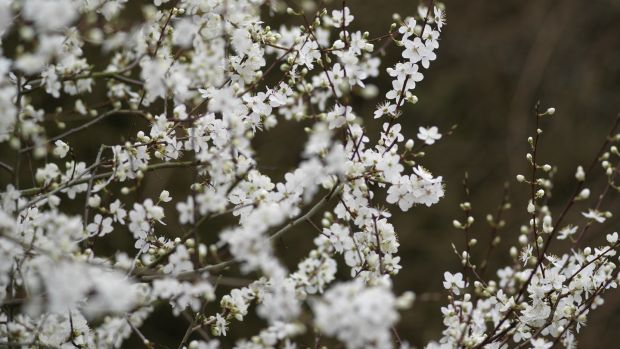 A cherry plum tree in full spring blossom. Photograph: Richard Johnston