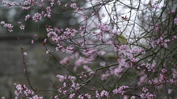 The dusty-pink blossom of the dark-leaved cherry plum Prunus cerasifera 'Nigra'. Photograph: Richard Johnston