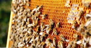 'A queen bee has hundreds of males to mind her. So she's fine.' Photograph: iStock