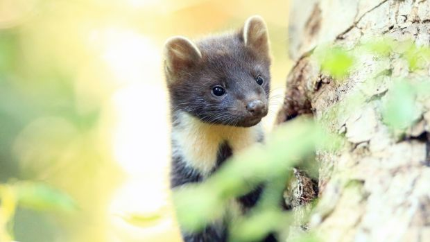 Pine martens are helping red squirrel populations recover, since the greys are easier for the martens to catch. Photograph: Ronald Surgenor