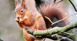 The red squirrel, although still quite widespread, has disappeared from many forests as a result of competition and disease spread by the greys. Photograph: Joe Kilroy