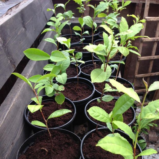 Some of Theresa Storey's tea plants awaiting replanting outside at her tea plantation in Ballingarry, Co Limerick