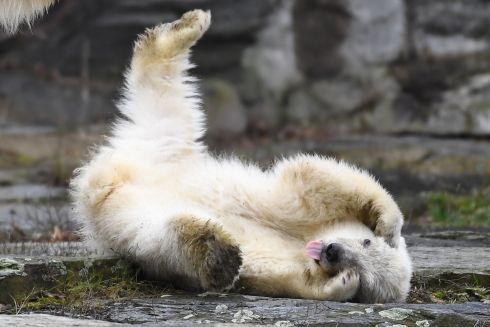 TUMBLE: A polar bear cub plays at her enclosure as she is presented to the press after leaving the breeding burrow for the first time on Friday at the Tierpark zoo in Berlin. The cub, who does not have a name yet, was born on December 1st, 2018. Photograph: Britta Pedersen/DPA/AFP/Germany Outbritta Pedersen/Getty