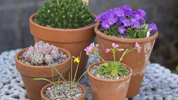 A selection of alpines and rock garden plants i flower in Triona Noonan's Dublin garden icluding Primula Clarence Elliott, Saxifraga Gregor Mendel, Narcissus Medway Gold and Lewisia cotyledon. Photograph: Richard Johnston