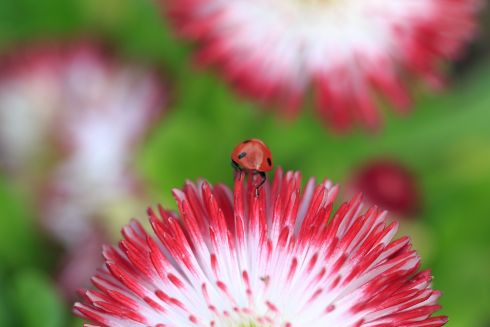 FLOWER VISITOR: A ladybird hunts amongst the spring blossoms  in the Botanic Gardens. Photograph: Fran Veale