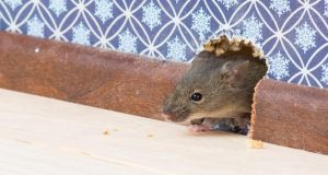Rodent problems are caused by either tenant negligence,  or vermin accessing the property through gaps in pipes, etc