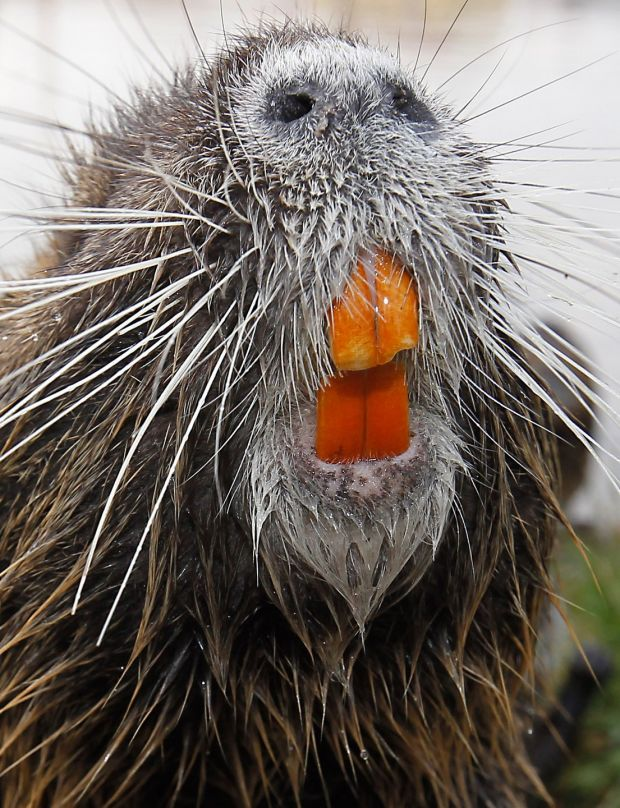Invasive rodent spotted along Dublin's Royal Canal