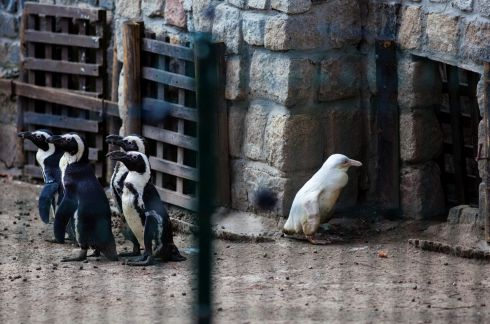 A juvenile albino penguin is presented to the public for the first time at Gdansk Zoo in Poland. In the wild, such an unusual-looking penguin would be rejected by other penguins and have little chance of survival, but zookeepers say this one has its parents and two friends. Photograph: Agencja Gazeta/Michal Ryniak/Reuters