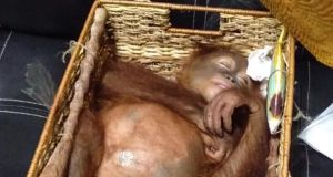 A rescued two-year-old orangutan rests inside a rattan basket, after a smuggling attempt by a Russian tourist at Bali's international airport, Indonesia. Photograph: Natural Resources Conservation Agency of Bali/AFP