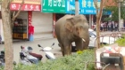 Caution, animals crossing: elephant causes alarm in Chinese town