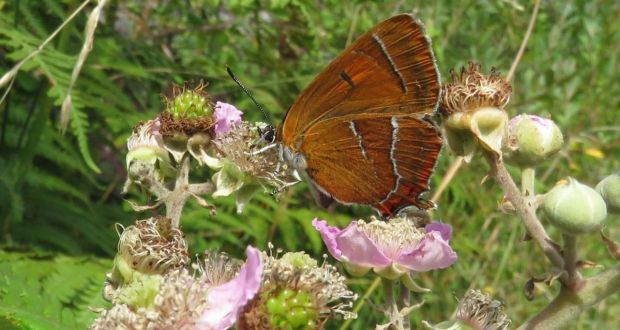 A brown hairstreak butterfly, one of the rarest in Ireland, on the NUIG biodiversity trail.