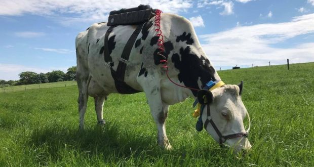 A dairy cow fixed with technology that collects and measures methane emissions grazes at Moorepark Teagasc food research centre in Fermoy, Co Cork. Photograph: Rachel Doyle
