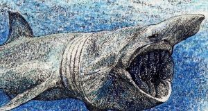 Basking shark. Between 1946 and 1997, the total cull from the northeast Atlantic population was more than 100,000 mature individuals, mostly female. Illustration: Michael Viney