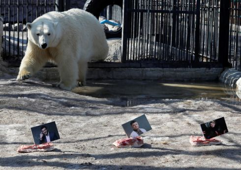 BEAR WITNESS: Polar bear Aurora approaches photographs of Ukrainian presidential candidates while attempting to predict the winner of the election, in Russia. Photograph: Ilya Naymushin/Reuters
