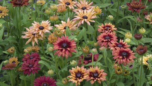"Rudbeckia ""Sahara"", one of the must-have plants to grow from seed this spring. Photograph: Richard Johnston"