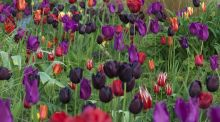 "June Blake's garden near Blessington, West Wicklow, will also be celebrating its ""Month of Tulips"" throughout April with a spectacular display of these spring-flowering bulbs."