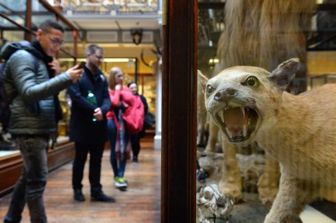 BACK OFF: A preserved puma on display at the Natural History Museum in Dublin. Photograph: Dara Mac Donaill
