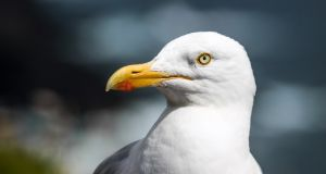Some think seagulls are 'evil' and support a widespread cull, but many others have an affection for the birds. Photograph: Getty