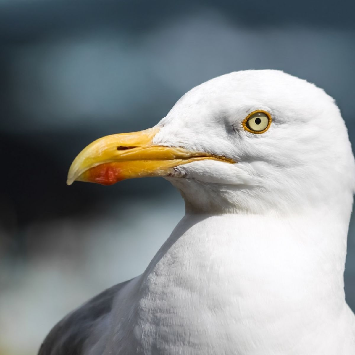How the invasion of the seagulls in Ireland is all our own fault