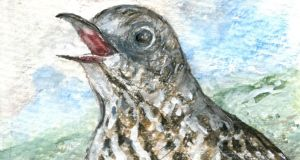 Mistle thrush song. Drawing: Michael Viney