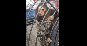 The monkey which was found by gardaí durign the raid in Finglas.