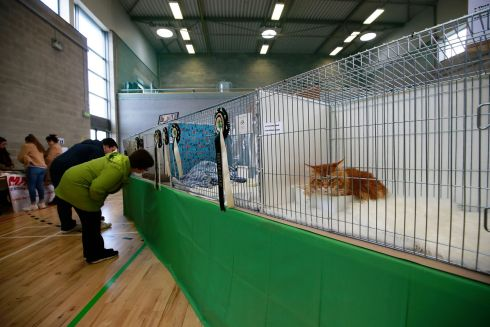 CAGED TIGERS: Competitors prowl around their enclosures - or not, as the case may be - during the Supreme Cat Show.