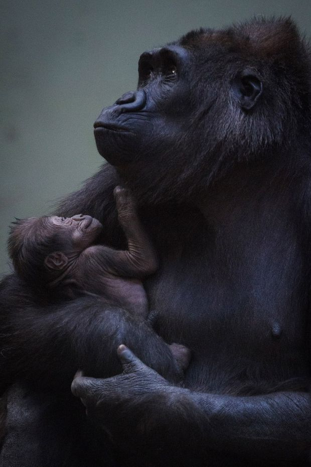 Keepers at Dublin Zoo have been unable to determine the gender of the infant as mother Kafi has been keeping the baby close to her chest since the birth. Photograph: Patrick Bolger