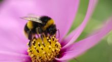 Bumble bee feeding on cosmos flower. Photograph: Richard Johnston