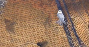 Sand martin trying to escape netting. Photograph: Twitter