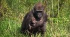 Dublin Zoo's new baby gorilla comes out for the sunshine