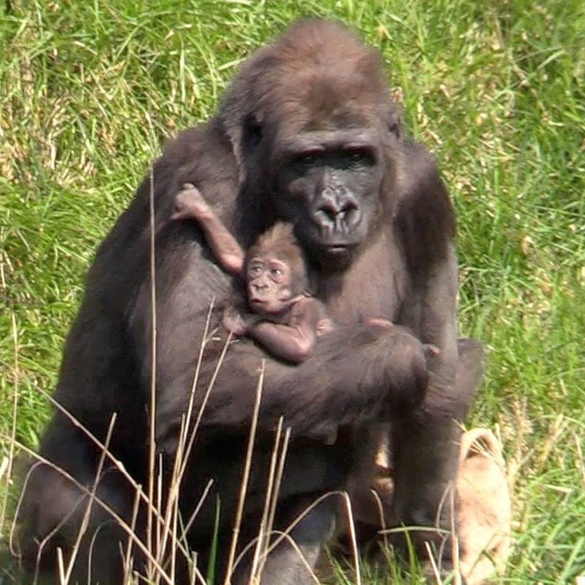 9699c6f515b Dublin Zoo's new baby gorilla comes out for the sunshine