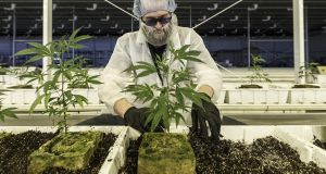 An employee tends to marijuana plants at the Aurora Cannabis  facility in Canada. The company predicts the expected opening up of the medicinal market may see up to 50,000 Irish patients being prescribed cannabis within four years