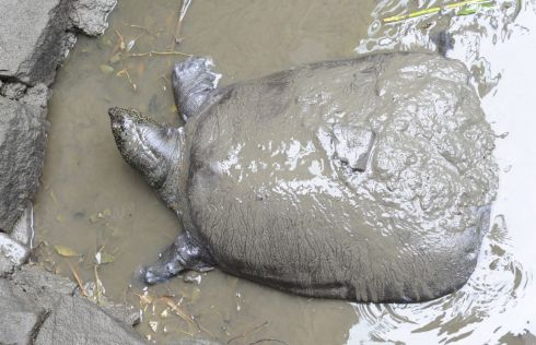 AND THEN THEY WERE THREE: A female Yangtze giant softshell turtle (Rafetus swinhoei) crawls in mud in an enclosure in preparation for insemination at the Suzhou Zoo in Suzhou, Jiangsu province, China, in a picture from May 2015. The female turtle has died after a further insemination operation, leaving only three known surviving individuals of the species in the world. Photograph: EPA