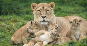 Fota Wildlife Park's Asian lion Gita and her four, as yet unnamed, eight-week-old cubs. Photograph: Darragh Kane