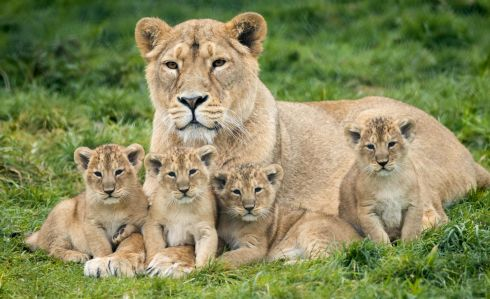 FAMILY PRIDE: Four Asian lion cubs are pictured with their mother in Fota Wildlife Park.