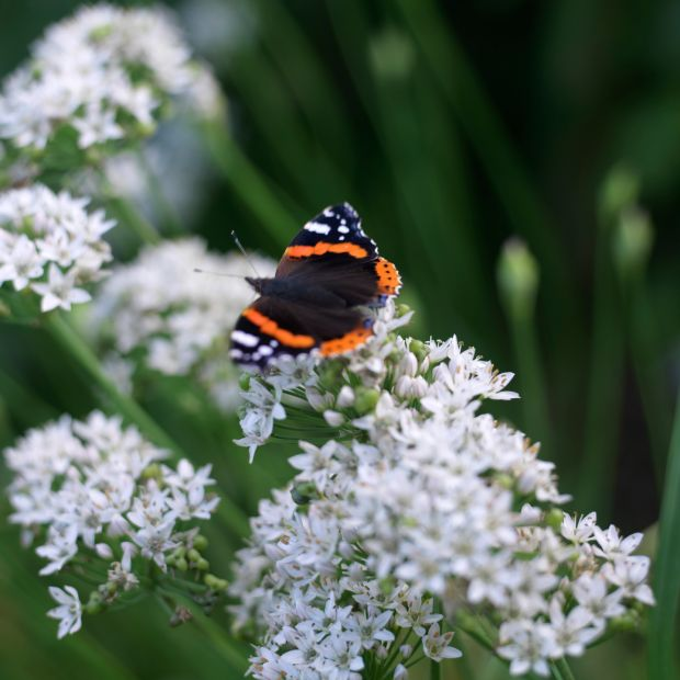 A Red Admiral butterfly basking on the flowers of garlic chives. Photo credit Richard Johnston