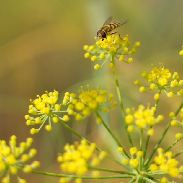A hoverfly feeds on fennel flowers. Photograph: Richard Johnston