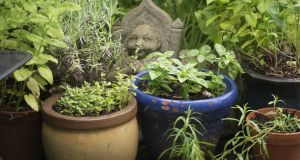 A cluster of pots filled with culinary herbs. Photograph: Richard Johnston