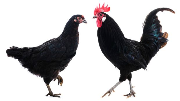 Good Friday: families would share a black hen's first egg, to ward off sickness. Photograph: iStock