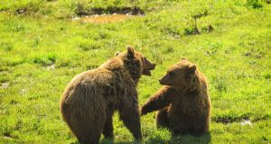 In the principality of Asturias more than half the land is protected, as are the bears