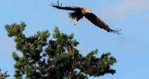 White-tailed sea eagle Caimin, who with his late partner, Saoirse, became the first of their species to successfully breed in the wild in Ireland for more than a century. Photograph: Arthur Ellis