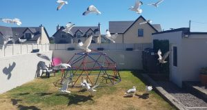 Seagulls swooping  in Rush, north Co Dublin.  Photograph: Suzanne Connolly