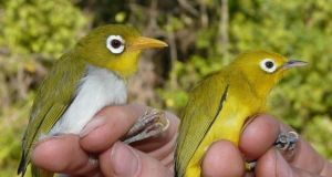 The Wangi-wangi white-eye (left) and the Wakatobi white-eye (right) are very different species. Photograph: Nicola Marples and David Kelly