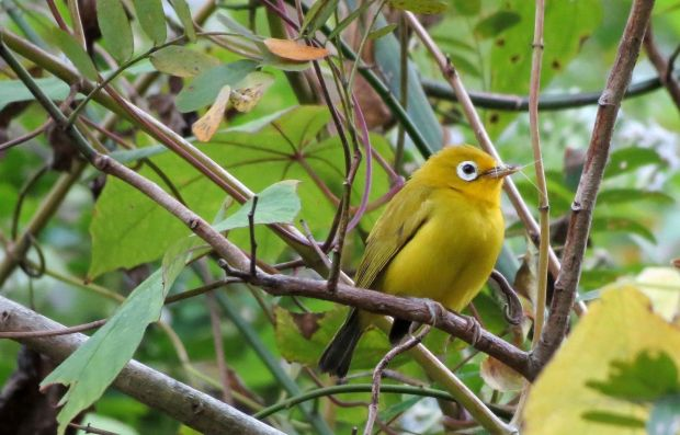 The Wakatobi White Eye is found throughout the Wakatobi Islands and split from its mainland relatives in the past 800,000 years. Photograph: Sean Kelly